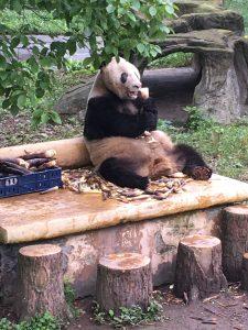 Panda in China- 2016